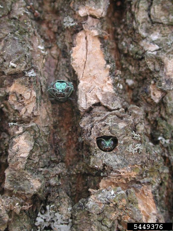 EAB emerging from ash tree